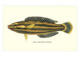 Hawaiian Fish, Hilu