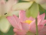 Pink Lotus With Bee, Kenilworth Aquatic Gardens, Washington DC, USA