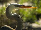 Great Blue Heron, Florida, USA
