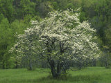 Flowering Dogwood, Blue Ridge Parkway, Virginia, USA