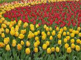 Garden pattern of tulips, Keukenhof Gardens, Lisse, Netherlands, Holland