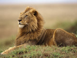 Adult male lion on termite mound