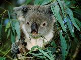 Koala Eating, Rockhampton, Queensland, Australia