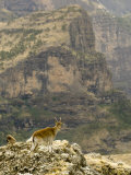 Walia Ibex and Gelada Baboon, Simen National Park, Northern Ethiopia