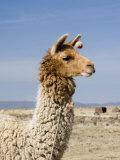 Llama Posing near Puno, Peru