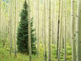 Silver FIr in Aspen Grove, White River National Forest, Colorado, USA