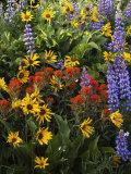 and Paintbrush, Lupine, Balsam Root, Columbia Gorge, Washington, USA