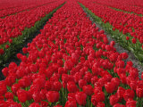 Flower field of tulips, Netherlands, Holland