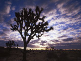 Joshua Trees, Joshua Tree National Park, California, USA