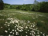 Daisy Meadow, Saline County, Missouri, USA