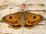 Small Female Silk Moth