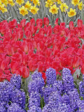 Pattern of flowers, Keukenhof Gardens, Lisse, Netherlands