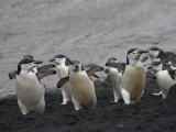 Chinstrap Penguin on the beach, Deception Island, Antarctica
