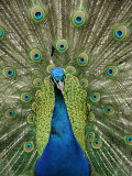 Peacock on Castle Grounds, Cardiff Castle, Wales