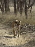 Royal Bengal Tiger, Ranthambhor National Park, India