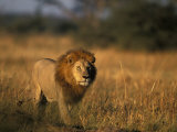 Lion, Savuti Marsh, Chobe National Park, Botswana