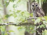 Barred Owl, Vacharie, Louisiana, USA