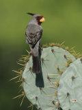 Pyrrhuloxia on Texas Prickly Pear Cactus, Rio Grande Valley, Texas, USA