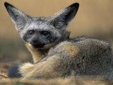 Bat Eared Fox Rests on Savanna, Masai Mara Game Reserve, Kenya