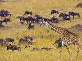 Crossing the Mara River, Maasai Mara, Kenya