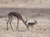 Springbok Mother Helps Newborn, Kalahari Gemsbok National Park, South Africa
