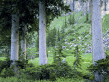 Engelmann Spruce Trees, Wasatch-Cache National Forest, Utah, USA
