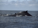 Mother and Calf Humpback Whales with Backs Arched Out of the Water