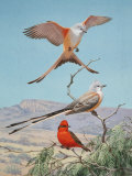 Scissor-Tailed and Vermilion Flycatchers Perch on a Mesquite Tree