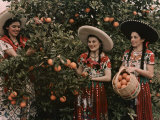 Mexican Women in Native Clothing Pick Oranges