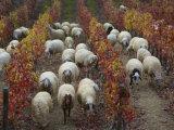 Sheep Grazing in a Vineyard in the Fall