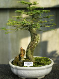 Bonsai Tree Inside of the Botanical Garden in Singapore