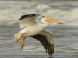American White Pelican in Low Flight over the Slave River Rapids