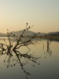 Cormorants, Phalacrocorax Species, Roosting in Tree Snag over Water