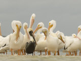 Brown Pelican Among Over-Wintering American White Pelicans