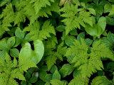 Ferns, Bunchberry in Southeast Alaska, Coastal Rainforest