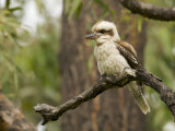 Laughing Kookaburra, Dacelo Novaeguineae, Perched in a Tree