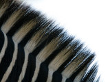 Close Up of the Mane of a Burchell's or Common Zebra, Equus Burchelli