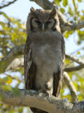 Verreaux's Eagle Owl, Bubo Lacteus, or Milky Eagle Owl, in a Tree