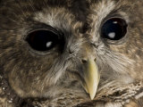 Threatened Northern Spotted Owl