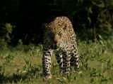 Front View of Leopard, Panthera Pardus, Walking