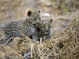 Pair of Leopard Cubs