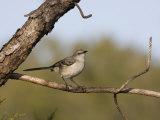 Portrait of a Mockingbird, Florida's State Bird