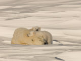 Polar Bear Sleeping with Her Cubs in a Snowy Landscape