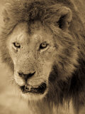 Male African Lion Looks Intently Ahead