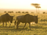 Two Wildebeest Walking in the Morning Sun, a Herd in the Background