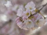 Close Up of a Cherry Blossom