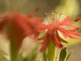 Close-up of Red Wildflowers Growing in the Stanislaus National Forest