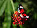 Close Up of a Black and Red Butterfly on a Red Flower
