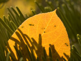 Close-up of Orange Quaking Aspen Leaf Backlit Among Pine Branches