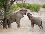 Two Elephants Lift their Trunks as They Play